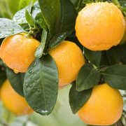 bloomsz-fruit-trees-plants-07305-64_1000